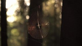 Spider on web in sunset sunshine. HD stock footage