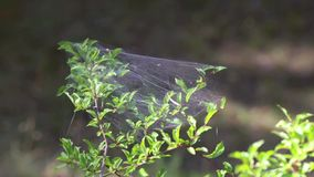 Spider web sways in the wind stock video