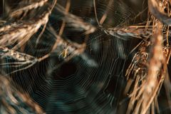 A spider in a web in a thicket of ripe wheat. Wheat field on a Sunny autumn day royalty free stock images
