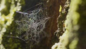 Spider Web on Tree Branches and sun reflection. Spider`s web on Tree Trunk. Web on tree bark with moss and sun Royalty Free Stock Photo