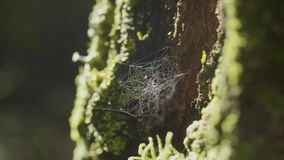 Spider Web on Tree Branches and sun reflection. Spider`s web on Tree Trunk. Web on tree bark with moss and sun. Reflection 4K stock footage