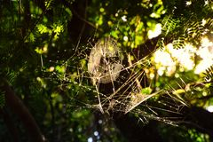 Spider Web on Tree in the Evening at Countryside royalty free stock image
