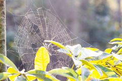 Spider web and tree Royalty Free Stock Photography