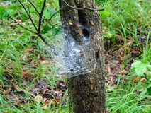 Spider Web. In a tree during summer royalty free stock photography