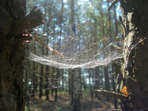Spider web between the trees. Spider web between two trees in the forest Stock Photos