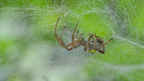 Spider on web in tropical rain forest. stock video