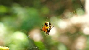 Spider on web in tropical rain forest. stock video footage