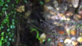 Spider Web in Tropical Rainforest Jungle. Shot with a Sony a6300 fps29,97 4k stock video