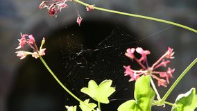 Spider web between two stems of a flower stock video footage