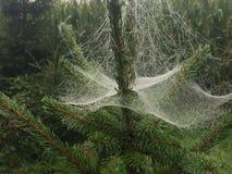 Spider Web, Vegetation, Tree, Pine Family Royalty Free Stock Images
