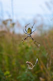 Spider on a web with victim Royalty Free Stock Image