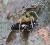 Spider on web and victim. In macro mode Stock Image