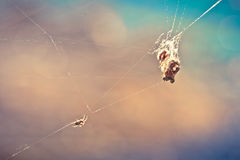 Spider on the web Royalty Free Stock Image