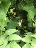 Spider in a web Royalty Free Stock Image