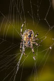 Spider web waiting for the sacrifice. Spider, web waiting for the sacrifice Royalty Free Stock Images