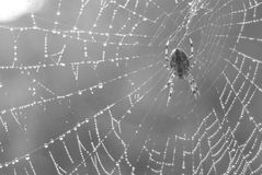 Spider web and water drops Royalty Free Stock Images