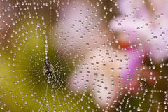 Spider web with water drops Stock Images