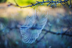 Spider web in a water drops Stock Photos