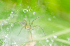 Spider and web water drops in nature Royalty Free Stock Image