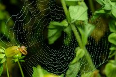 Spider web with water drops. Royalty Free Stock Image