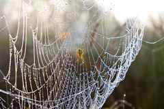 Spider web with water drops under sunlight Stock Image