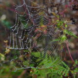 Spider web with water pearls Royalty Free Stock Photo