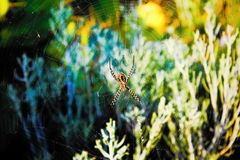 Spider on the web. Is wating for flies Royalty Free Stock Images