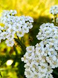 Spider web on the white flowers. Spider-wielded a spider web on the white flowers of elderberry. Vivid picturesque macro photo royalty free stock images