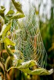 Spider Web With Morning Dew Drops Royalty Free Stock Photos