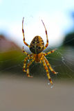 Spider. Web work araneae eight legs fly food catching  stop Stock Photography