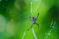Spider on the web. Yellow belly spider and its web Royalty Free Stock Image