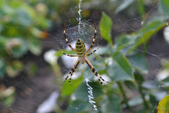 Spider on the web. Spider yellow with black stripes on the web royalty free stock images