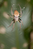Spider in web with yellow upper legs. Stock Photos