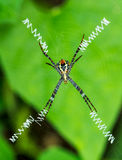 Spider and webs Royalty Free Stock Photo