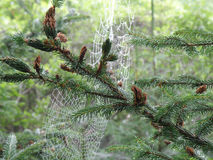 Spider Webs in an Evergreen Tree. Spider webs hanging from branches of an evergreen tree Stock Image
