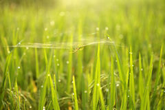 Spider webs on the grass Royalty Free Stock Photo