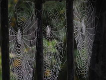 Spider webs Stock Image