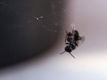 Spider Webs Victims Royalty Free Stock Photos
