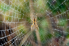 Spider on wet web Stock Image