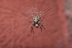 Spider on wet web Royalty Free Stock Images