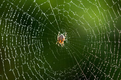 Spider On a Wet Web Stock Photography