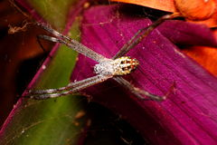 Spider on wet web Royalty Free Stock Photo