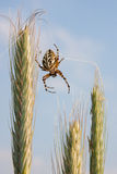Spider on wheat Stock Photography