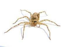 Spider on white background. Spider in light brown poes front on white background Stock Images