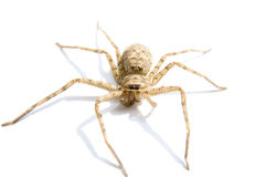 Spider on white background. Spider in light brown on white background.Its antennas at front Royalty Free Stock Photography