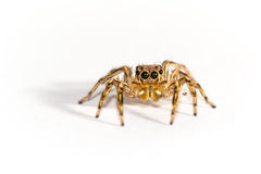 Spider in white background. Stock Photography