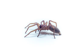Spider with white background Royalty Free Stock Photography