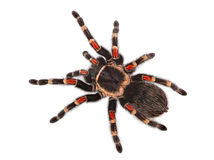 Spider on white background Royalty Free Stock Image