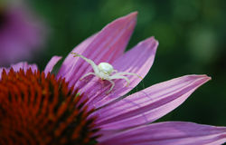 Spider. White spider on pink petals Royalty Free Stock Photography