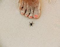 Spider on white sandy beach in Caribbeans royalty free stock photography